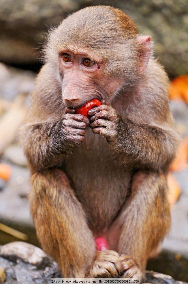 唯美 可爱 动物 野生动物 猴子 吃苹果的猴子 摄影 生物世界 野生动物