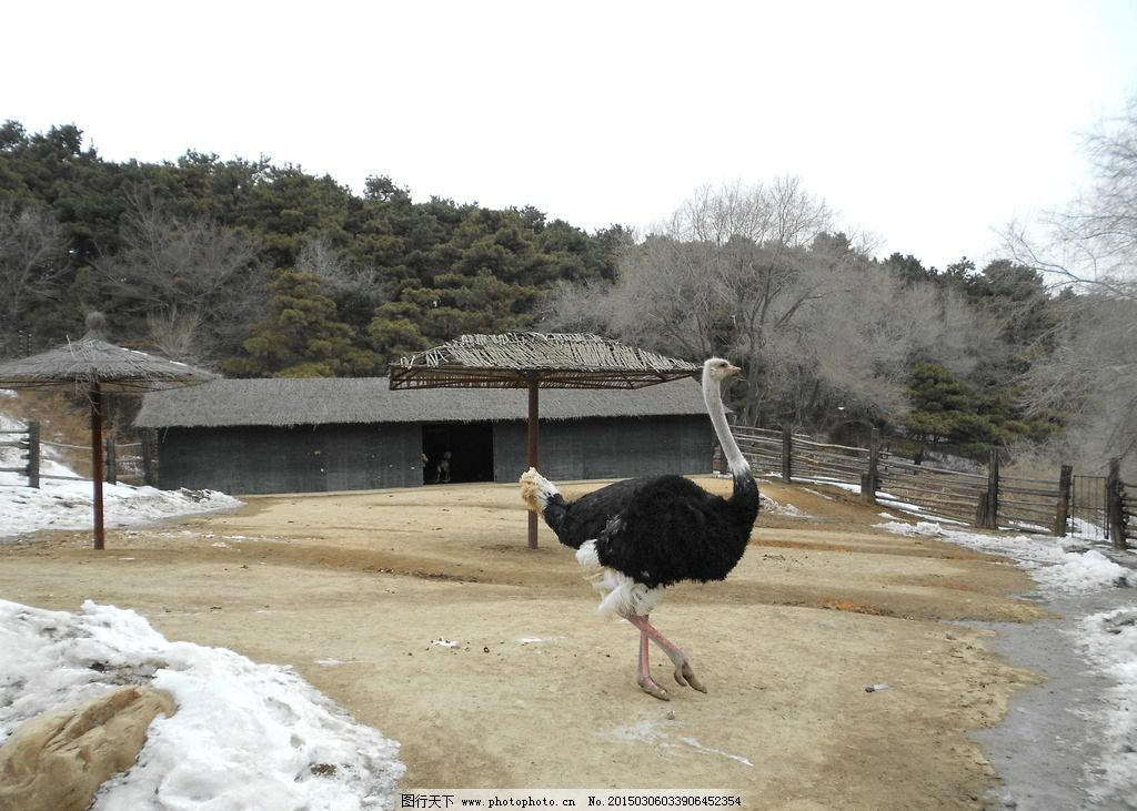 鸵鸟 动物 冬天 冬天摄影 旅游 动物园 沈阳 森林动物园 鸵鸟目