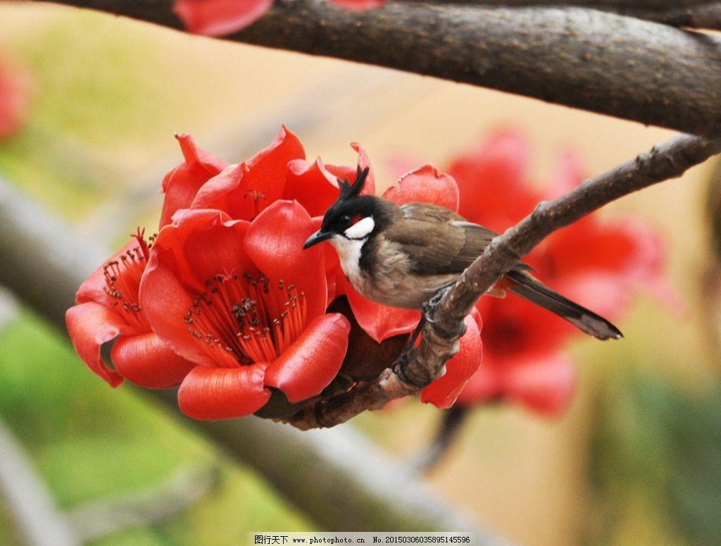 木棉 小鸟 可爱 春天 美丽 深圳 摄影 生物世界 树木树叶 300dpi jpg