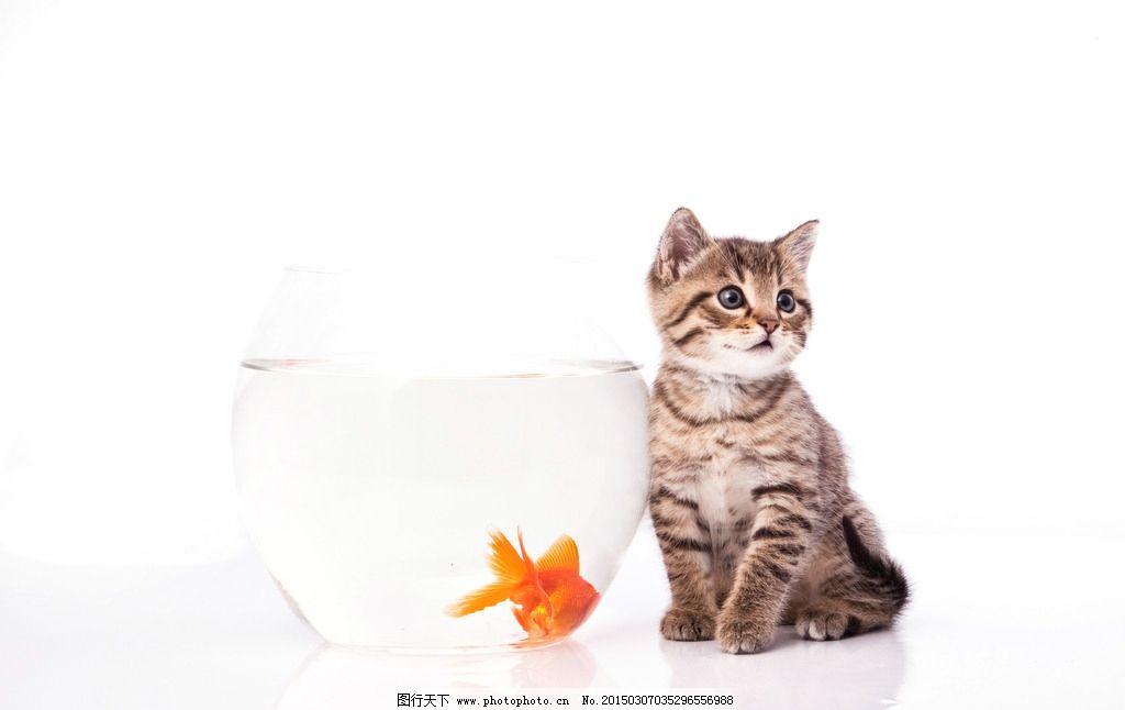 猫 鱼 花猫 金鱼 玻璃 动物摄影 摄影 生物世界 鱼类 300dpi jpg