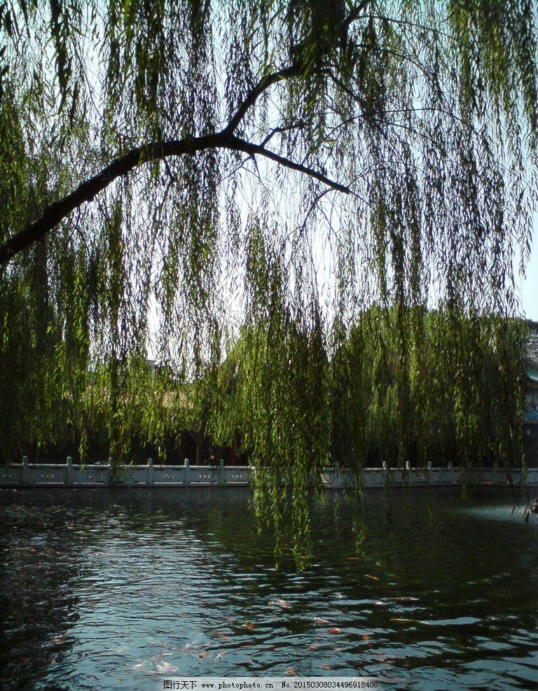 柳树 垂柳 湖 自然 风景 摄影 自然景观 山水风景 72dpi jpg