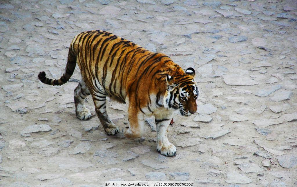 老虎图片_野生动物_生物世界_图行天下图库