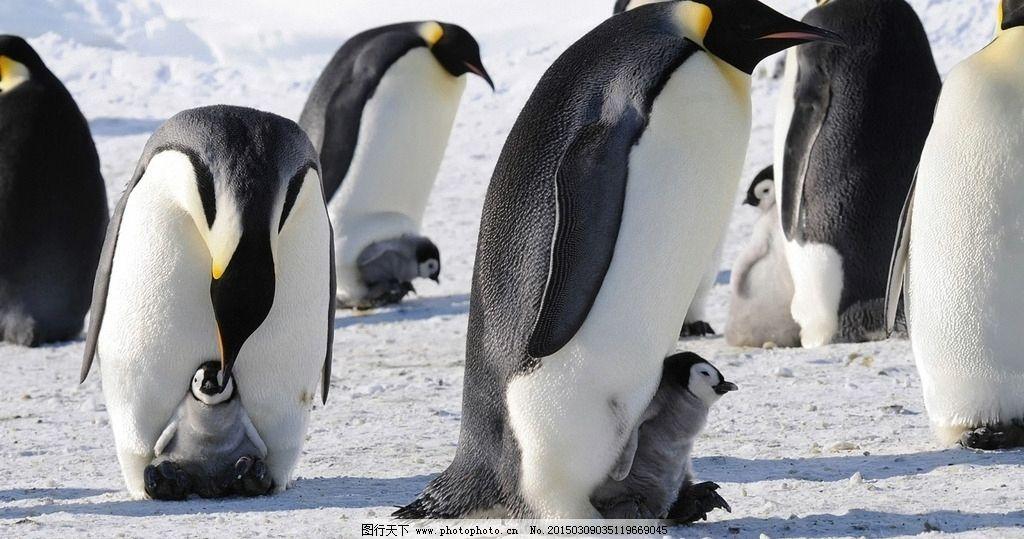 动物 帝企鹅 南极动物