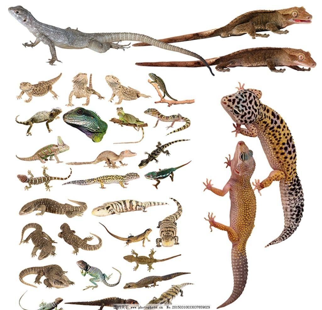 蜥蜴 脊椎动物 变色龙 鬃狮蜥 变温动物 动物 设计 psd分层素材 其他
