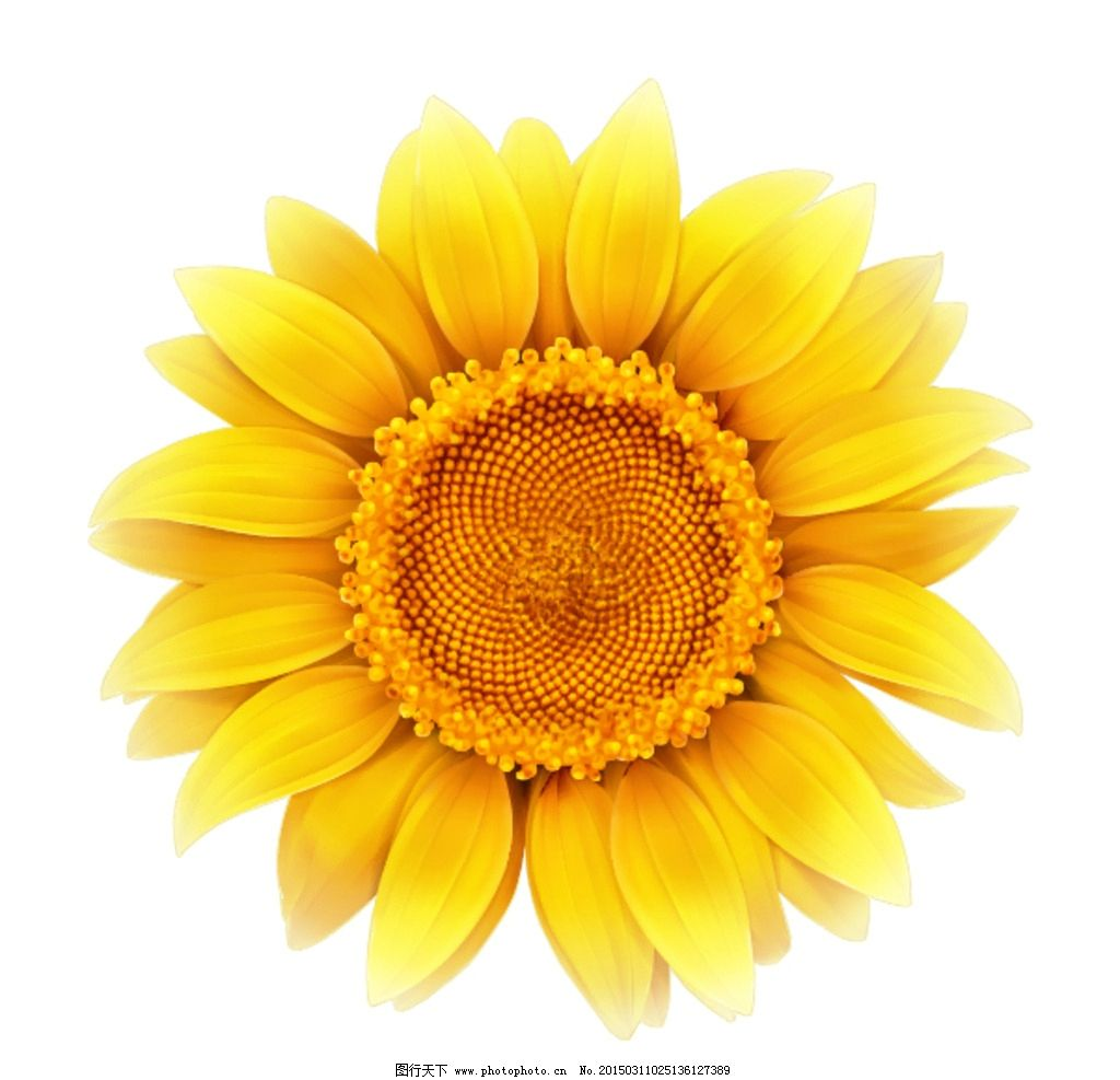 矢量向日葵 矢量 向日葵 花 花朵 黄色向日葵 黄色花朵 矢量素材 花草