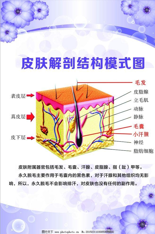 皮肤解剖结构模式图图片