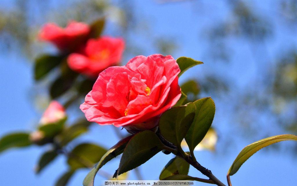 玫瑰花 红花 一枝花 摄影 植物 摄影 生物世界 花草 300dpi jpg