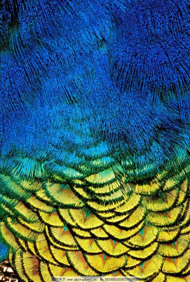 孔雀羽毛 孔雀 羽毛 彩色羽毛 摄影 生物世界 鸟类 300dpi jpg