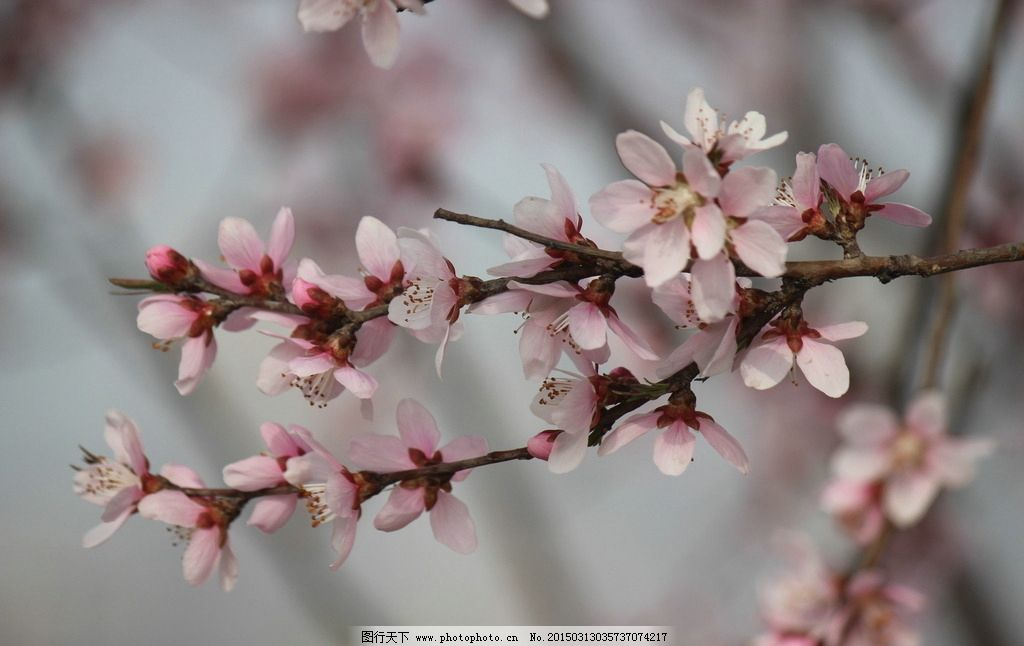 粉桃花 花枝 花朵 花蕾 白桃花 花草 摄影 生物世界 花草 72dpi jpg