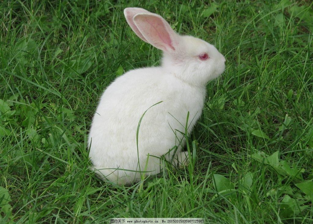 小白兔图片_家禽家畜_生物世界_图行天下图库