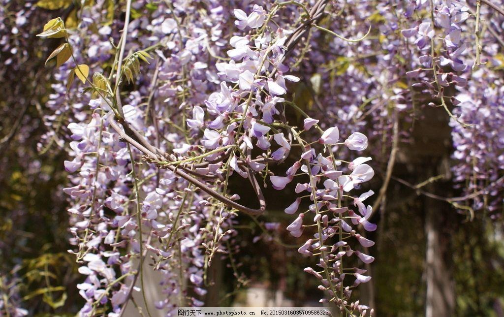 紫藤花 自然风景 紫藤花素材 自然景观 自然 风景 摄影 自然摄影 花卉