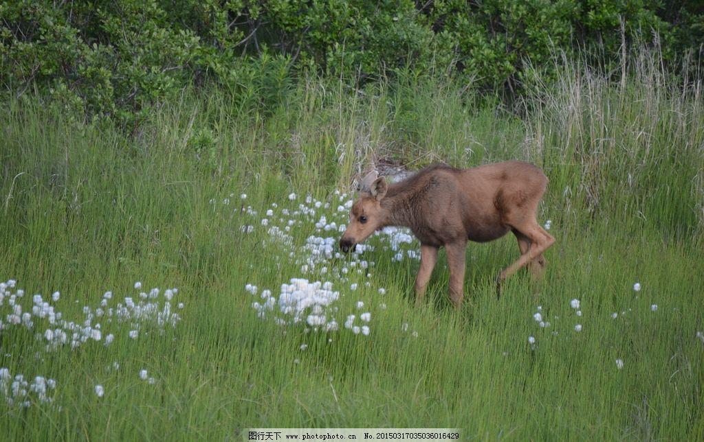 四不像小moose 美国 旅游 动物 国家公园 摄影