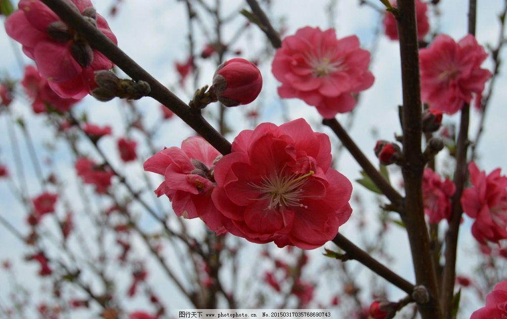红色桃花 粉色桃花 鲜花 花朵 三月桃花 桃花园 三两枝桃花 春天桃花