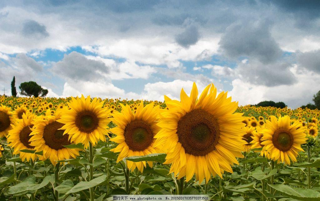向日葵太阳 向日葵植物 花朵 花瓣 向日葵背景 向日葵墙纸 花草 自然