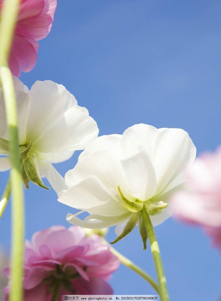 唯美 花 植物 自然 太阳花 鲜花 花卉 花朵 摄影 生物世界 花草 350dp