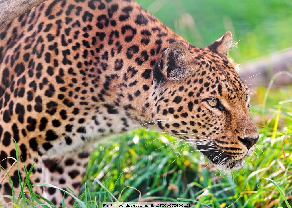 豹子 猎豹 豹纹 猛兽 猫科动物 猎豹摄影 动物专辑 摄影 生物世界