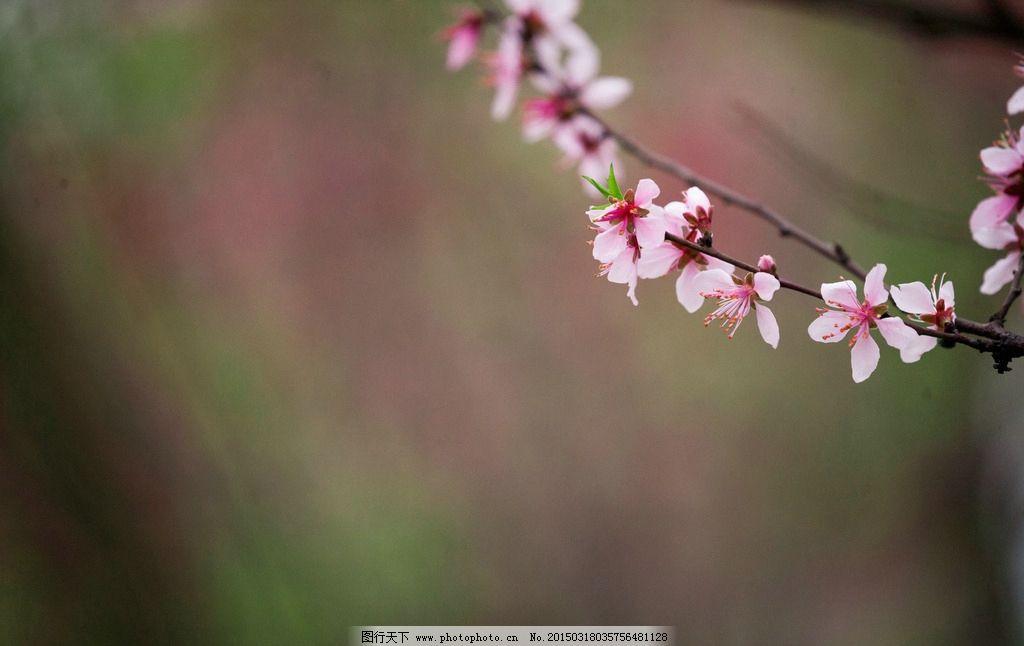 一枝桃花图片
