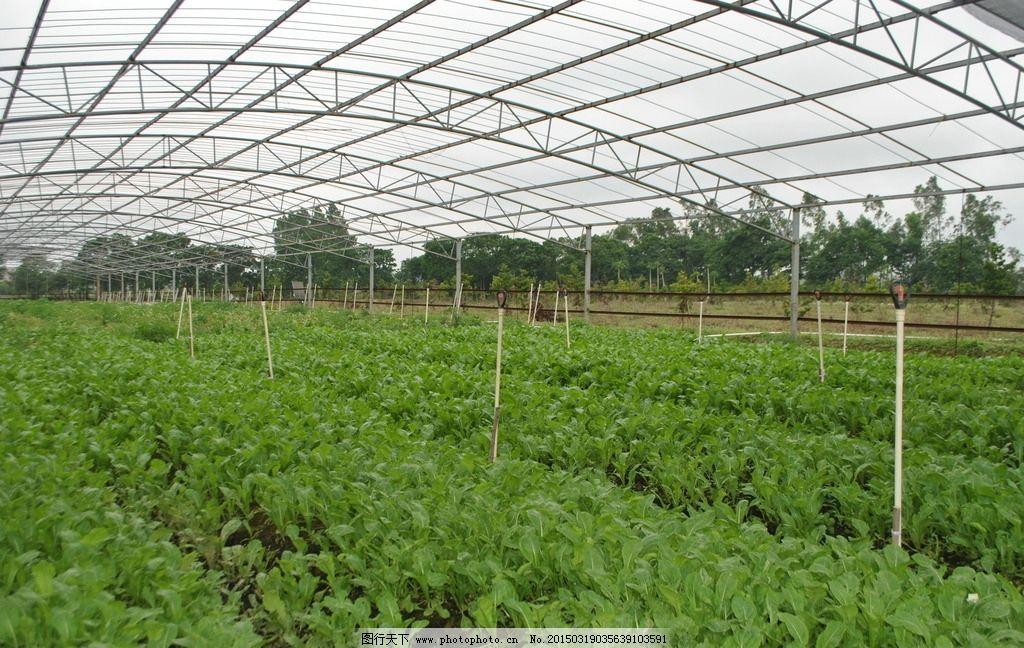 大棚蔬菜种植基地图片
