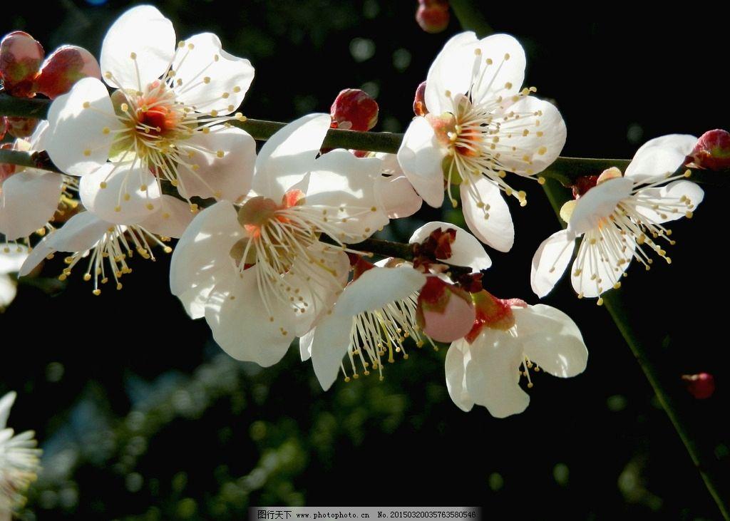 梅花 花卉 植物 树枝 花朵 摄影 生物世界 摄影 生物世界 花草 300dpi
