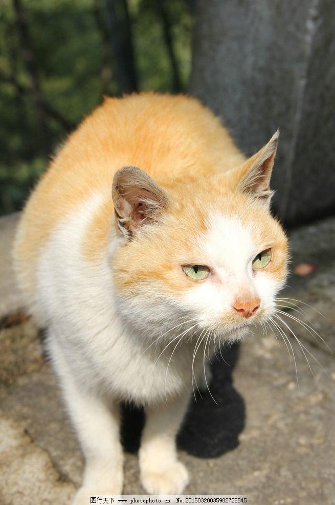 猫 黄猫 特写 摄影 动物 摄影 生物世界 家禽家畜 72dpi jpg