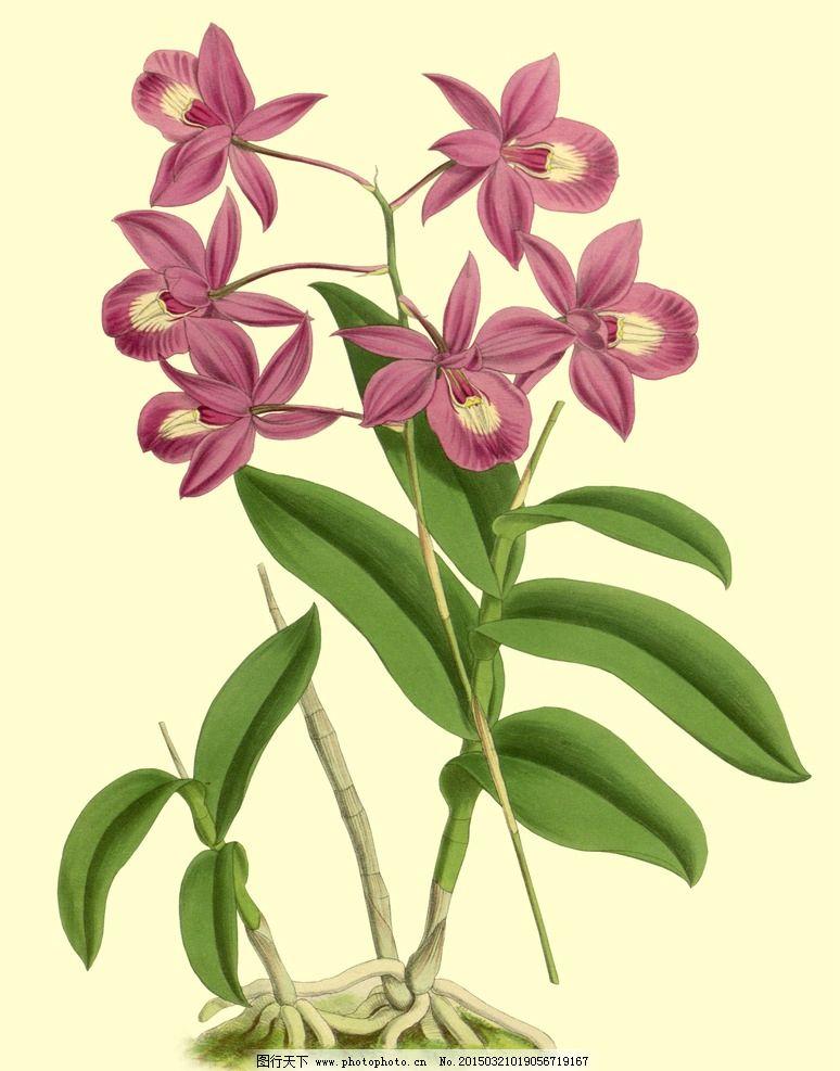 手绘兰花 植物 花卉 兰花
