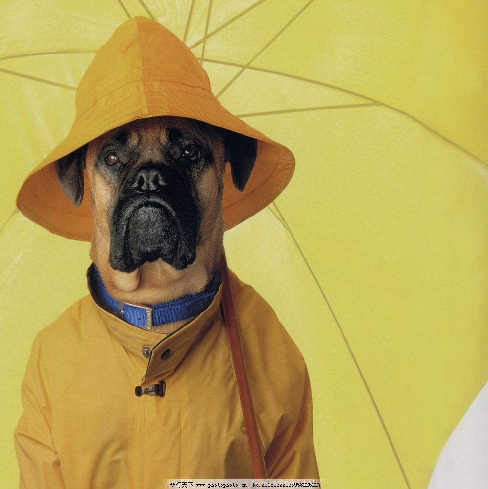 可爱 趣味狗狗 夸张 夸张狗狗 撑伞 黄色雨伞 帽子 雨衣 雨帽 宠物 萌