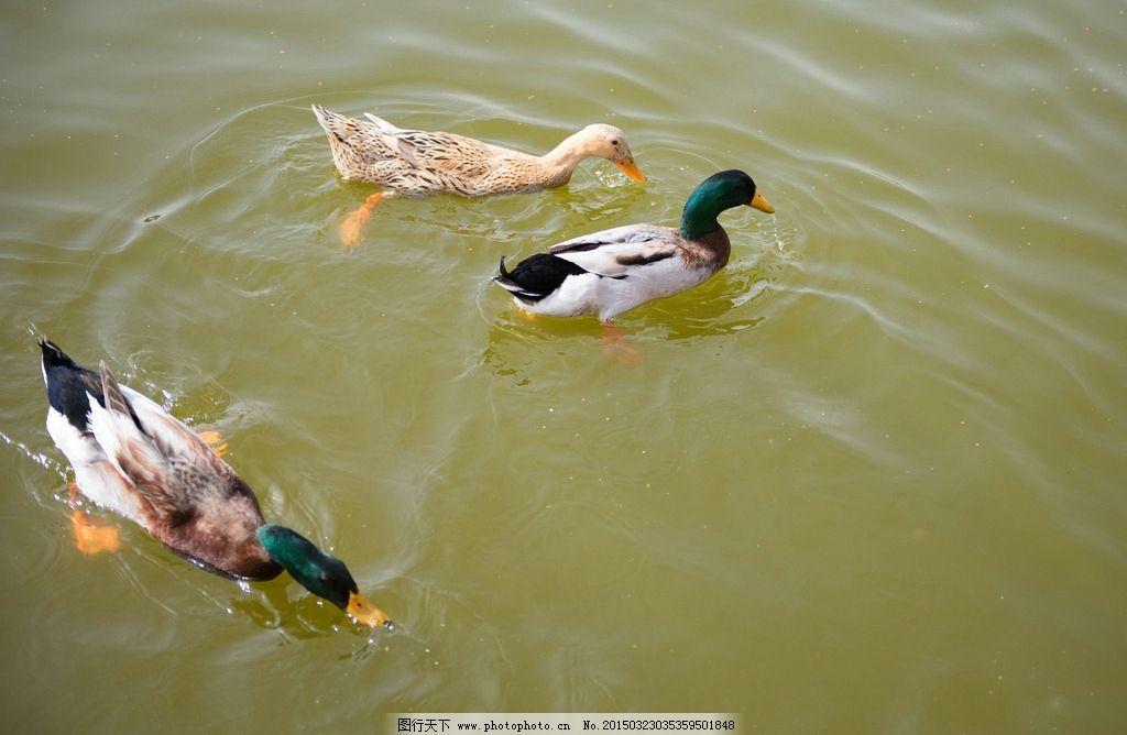 鸭子 水鸭子 水中鸭子 小鸭子 绿头鸭 摄影 生物世界 鸟类