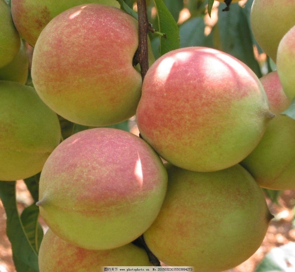夏季水果 桃子摄影 桃子图片 桃子照片 毛桃 夏天水果 水果摄影 桃子