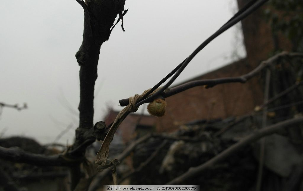 猕猴桃树叶 新叶 发芽 树枝 素材拍摄 摄影