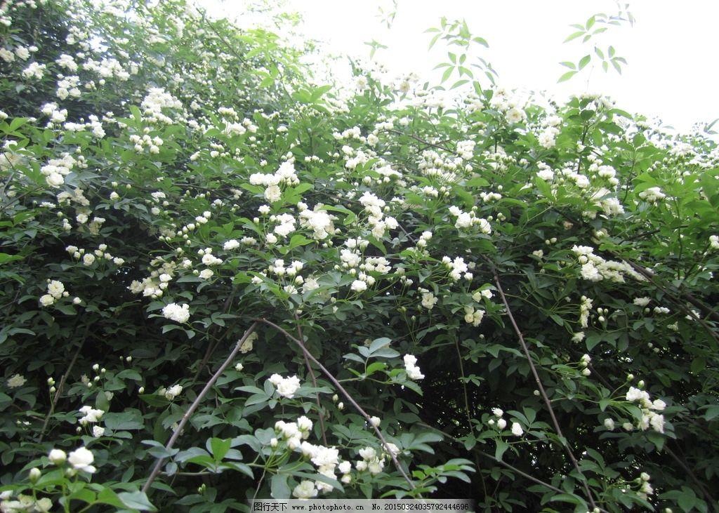 白色蔷薇 花朵背景图片 唯美 植物 观赏 蔷薇花 摄影 风景 摄影