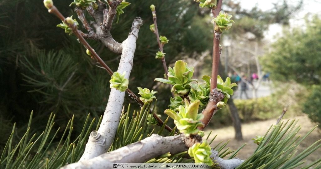青岛中山公园 春天嫩芽 绿叶 生机勃勃 生机 摄影 生物世界 树木树叶