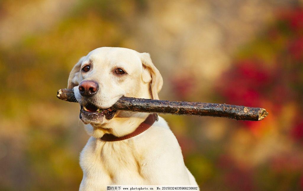 宠物狗图片,小狗 嬉戏 犬类 哺乳动物 摄影-图行天下