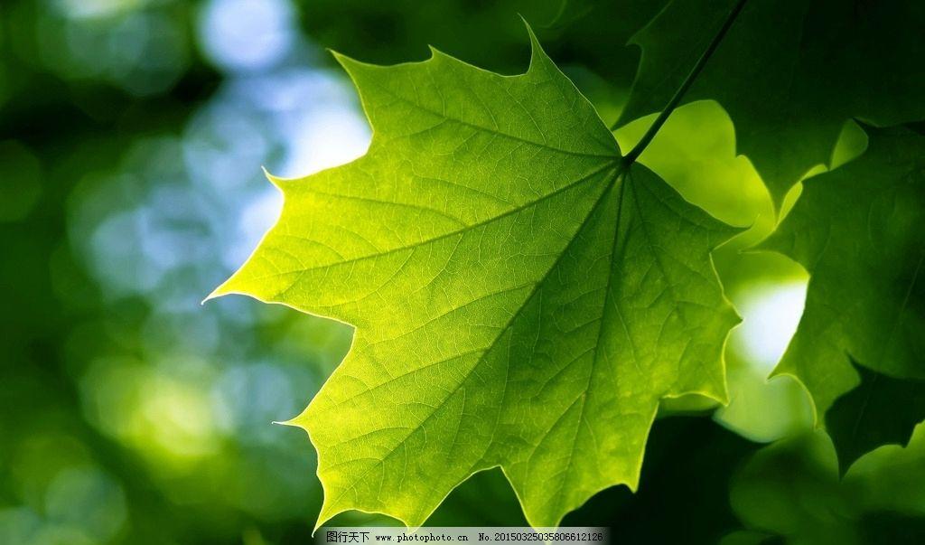 树叶 叶子 绿叶 单片叶子 一片叶子 一片树叶 绿树叶 绿叶子 叶脉