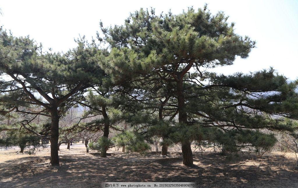 松树 松枝 松柏 自然景观 美丽北京 植物 树木 风景 树冠 树枝
