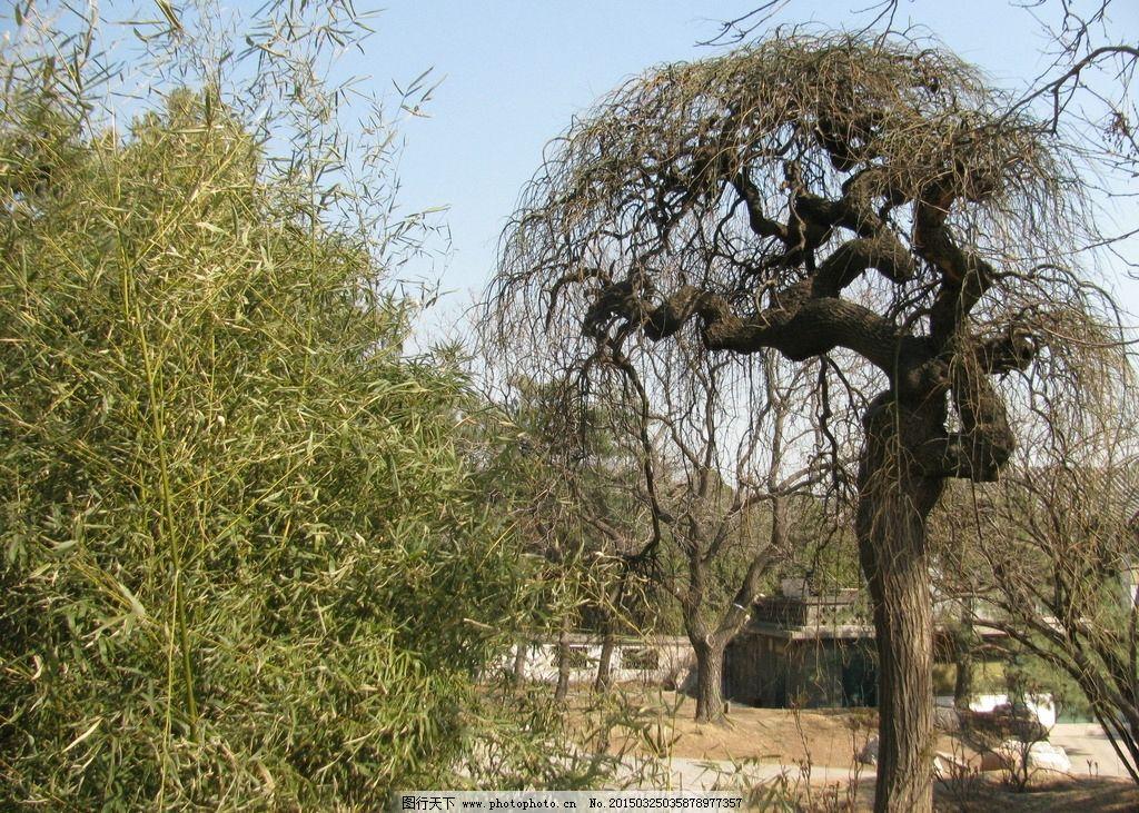 龙爪槐 树木 风景 树冠 树枝 初春 竹林 树木树叶 摄影 生物世界 树木
