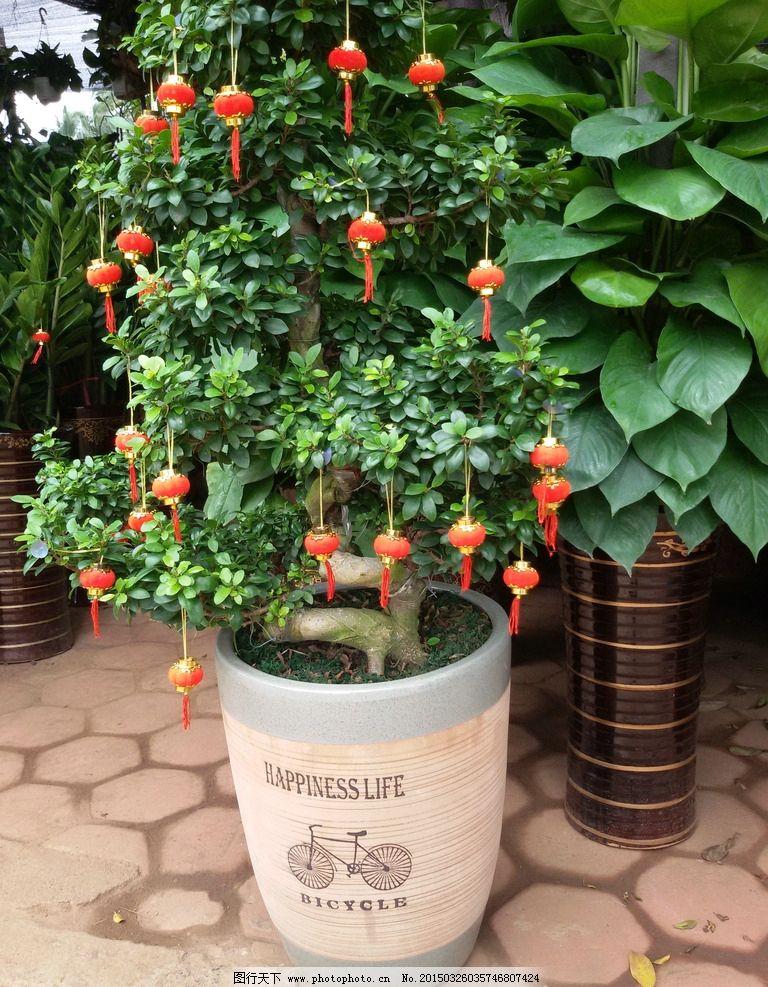 发财树 盆栽 盆栽植物 观赏植物 发财树摄影 花草 树木 生物世界
