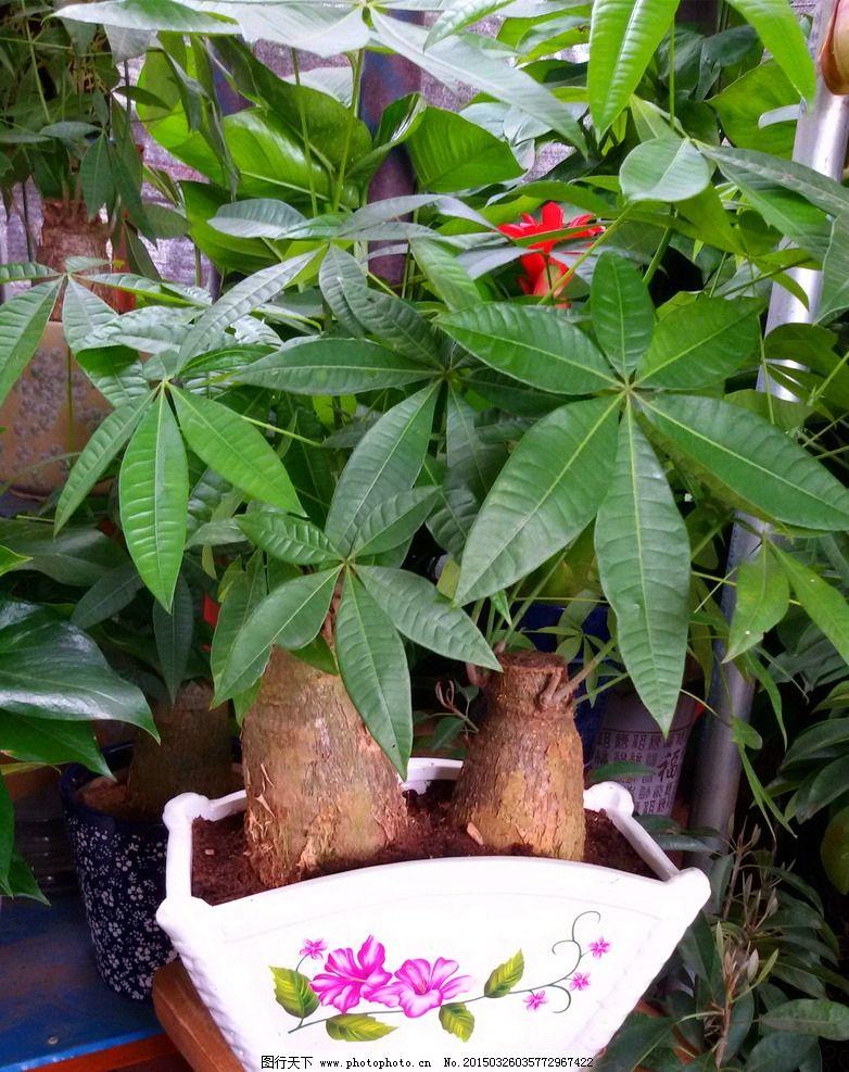 观赏植物 发财树摄影 花