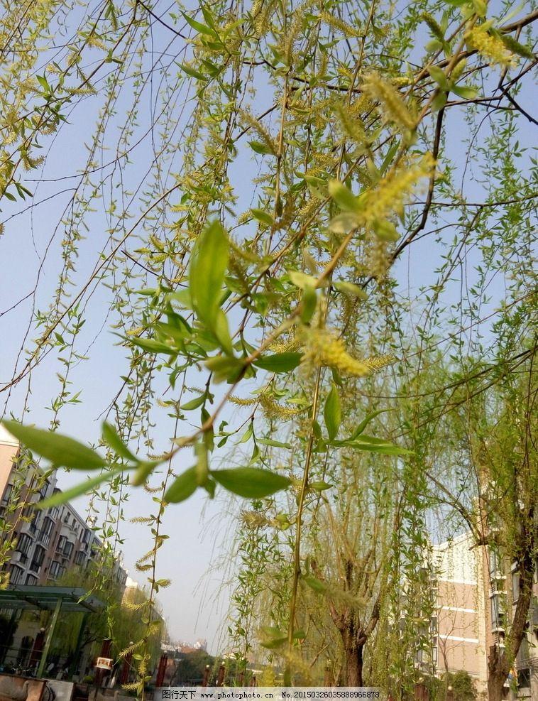 柳树 春天图片_树木树叶