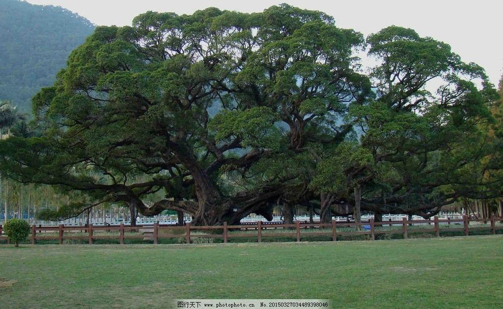榕树 福州图片,大榕树 森林公园 国家 摄影 自然景观
