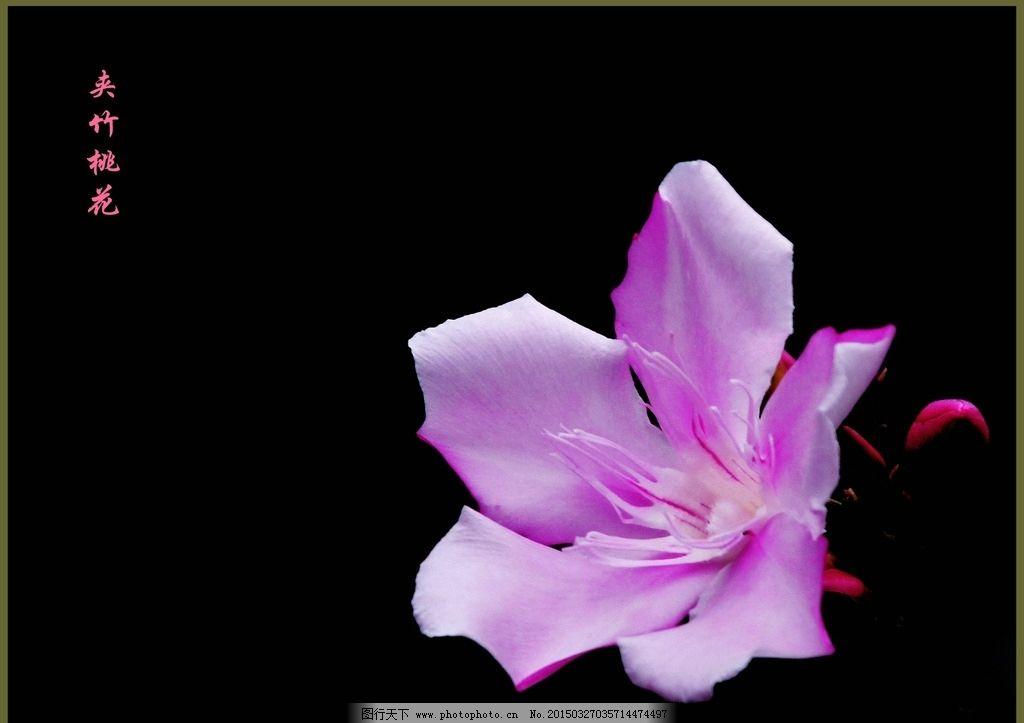 夹竹桃花 鲜花 淡紫色花 五瓣花 绿叶 黑背景 小花 鲜花荟萃