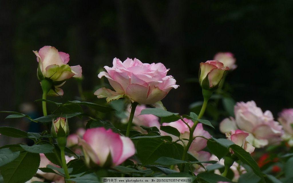 鲜花 月季花 粉红色花 绿叶 黑色背景 鲜花 摄影 生物世界 花草 180