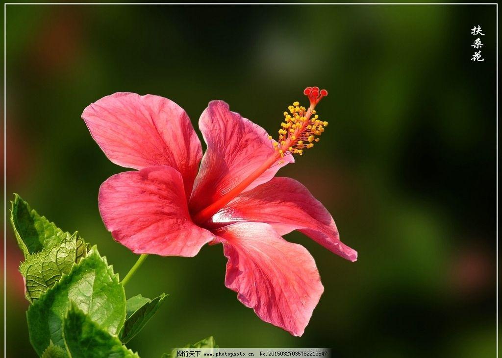 鲜花 扶桑花 红花 绿叶 黑背景 鲜花荟萃 摄影 生物世界 花草 72dpi