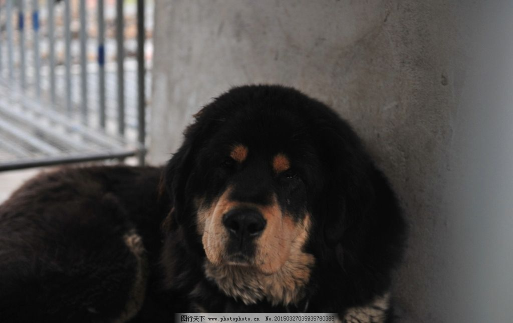 藏獒 獒 狗 动物 家畜 猛兽 藏獒 摄影 生物世界 家禽家畜 300dpi jpg