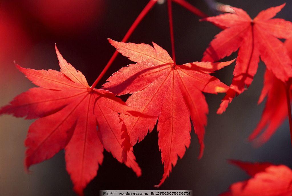 唯美 树叶 叶子 植物 自然 红叶 摄影 生物世界 树木树叶 350dpi jpg图片
