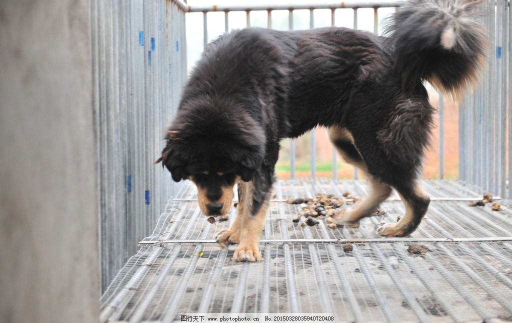 藏獒 獒 狗 牲畜 动物 獒园 养殖 雪獒 藏獒 摄影 生物世界 家禽家畜