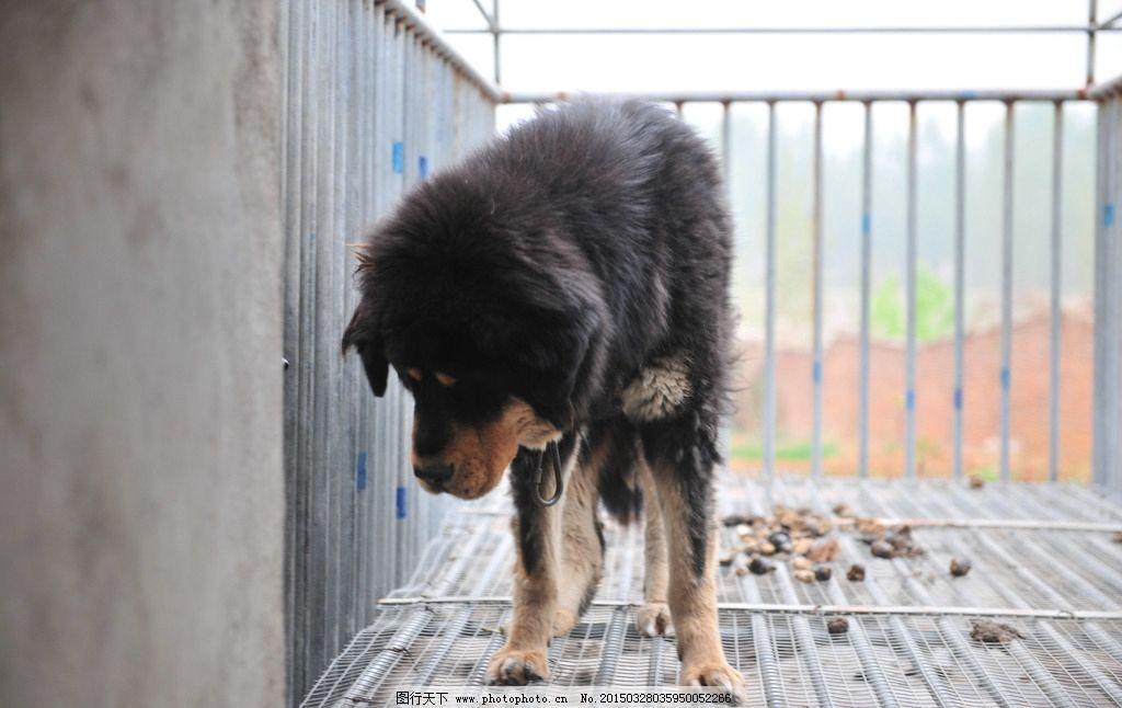藏獒 獒 狗 牲畜 动物 獒园 养殖 雪獒 摄影 生物世界 家禽家畜 300