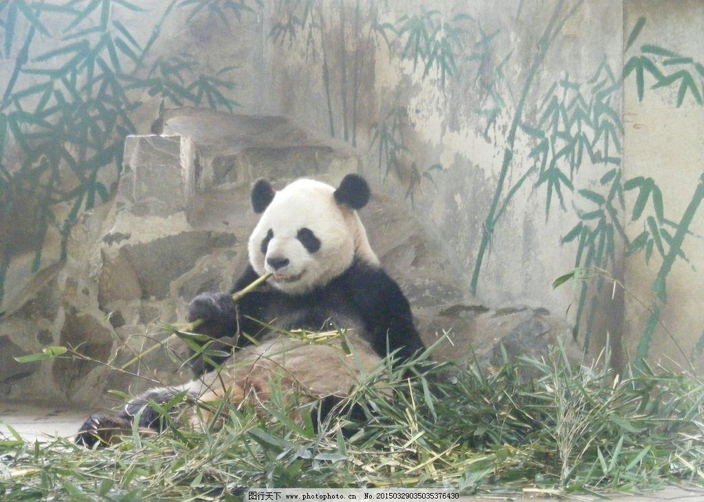 动物 熊猫 大熊猫 吃竹子 黑眼圈 照片 摄影 生物世界 野生动物 72dpi