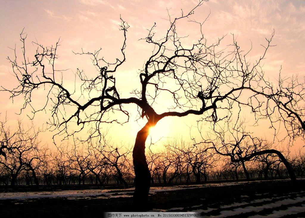 枣林 夕阳 枣树 树 田园      摄影 自然景观 田园风光 72dpi jpg