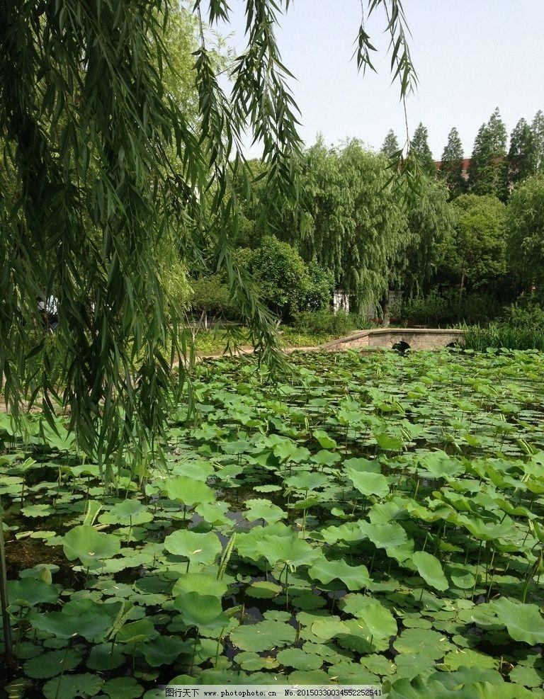 春天的公园 柳树 荷塘 池塘 荷叶 大树 叶子 桥 桥梁 河水