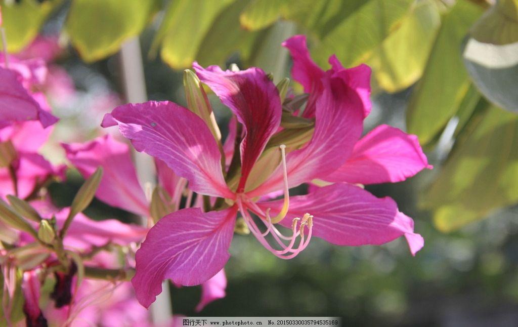 紫荆花 红花羊蹄甲 洋紫荆